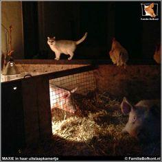 Dinsdag 25 februari 2014 * De NACHT van DE OPERATIE VAN MAXIE * Wat zijn varkens toch familiegezind. Maxie was nog maar half uit de narcose, toen ze al weer bij haar familie wilde. => Lees verder op: http://familiebofkont.nl