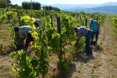 Grape Harvest in Portugal's Douro Valley - via Julie Dawn Fox 11.06.2015 | Perhaps one of the best times to experience the chameleon-like beauty of Portugal's Douro Valley is during the grape harvest. Although it's usually towards the end of September, the exact timing of the grape harvest all depends on the weather during the growing season and the forecast for September rains. #portugal #travel #wine