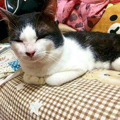 ᴾᴴᴼᵀᴼ ²⁰¹⁶ ¹¹ ¹² #cat #neko #meow #catsofinstagram #kitty #𓃠 #kittycat #Tuxedo #賓士貓 #張北鼻 #愛猫 #ハチワレ #ねこ #キャット ⋯⋯⋯୨୧⋯⋯⋯୨୧⋯⋯⋯୨୧⋯⋯⋯