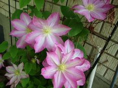Clematis (Clematis 'Asao') uploaded by Paul2032