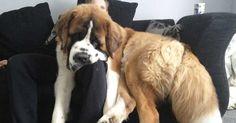 11 ENOMRE honden die zijn vergeten hoe groot ze zijn! - http://filmpjevandedag.nl/11-reusachtige-honden/