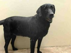 SAFE/RTO 1/5/15 --- SUPER URGENT 01/03/15 Brooklyn Center   TOBY aka BO JANGLES - A1024549 (ALTERNATE A# - A1019976)  *** RETURNED AS STRAY ***  NEUTERED MALE, BLACK, LABRADOR RETR MIX, 8 yrs  STRAY - ONHOLDHERE, HOLD FOR ID Reason STRAY  Intake condition EXAM REQ Intake Date 01/02/2015,  https://www.facebook.com/Urgentdeathrowdogs/photos/pb.152876678058553.-2207520000.1420414873./935599359786277/?type=3&theater