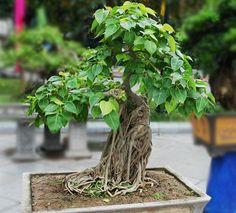bodhi_tree