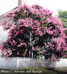 Crapemyrtle (Crape Myrtle) - This striking, fast-growing specimen boasts both vibrant spring blooms as well as attractive fall foliage. Great for hot and sunny climates, and considerably drought-tolerant once established. #gardening #landscaping
