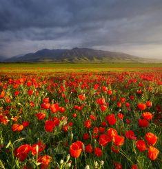 Красивое маковое поле. Автор фотографии: Сергей Сутковой (Sergey Sutkovoy).