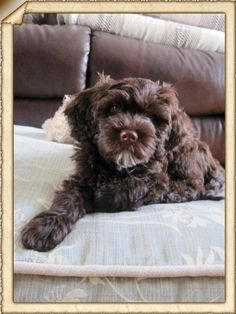 Nova 11 week old Portugese Water Dog: Active, NO shedding, very compatable with other animals, great watchdog, sort of protective, great outdoors dog, family pet, super trainable