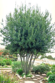 Laurus nobilis, Sweet Bay tree
