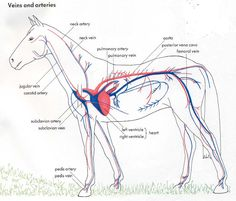Equine circulatory system