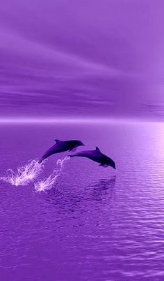 Dolphins surfing in a purple sunset! ❤ ❤ ❤