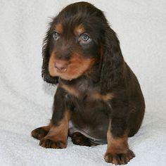 Field Spaniel Puppy Tony
