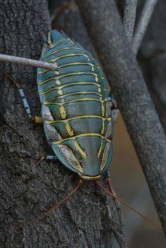 A very colorful Painted Trilobite Cockroach from Australia~