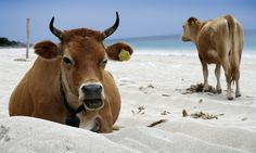 Cows roam the beaches of Dhermi, a quiet and more isolated coastal area. Photo by savagecat, flickr