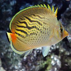 Sunset Butterflyfish (Pelewensis or Dot-Dash Butterflyfish): Saltwater Aquarium Fish Underwater Creatures, Underwater Life, Ocean Creatures, Saltwater Aquarium Fish, Saltwater Tank, Colorful Fish, Tropical Fish, Salt Water Fish, Cool Fish