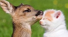 SERIOUSLY THIS IS THE CUTEST THING EVER. | This Photo Of A Kitten And Baby Deer Snuggling Will Warm Your Heart