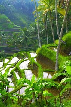 Rice Field Terraces, Ubud, Bali photo via coconuts