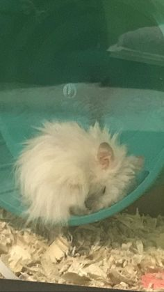 My ham Sandy sleeping on his wheel! #aww #Cutehamsters #hamster #hamstersofpinterest #boopthesnoot #cuddle #fluffy #animals #aww #socute #derp #cute #bestfriend #itssofluffy #rodents