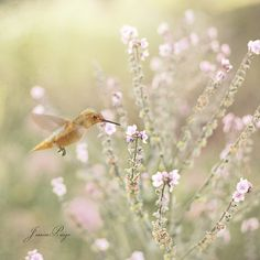 Hummingbird ~ I love the compostion of this photo the delicate flowers & the beautiful little hummingbird ..........
