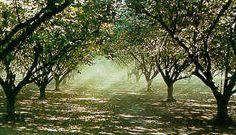 filbert orchard - Bing Images