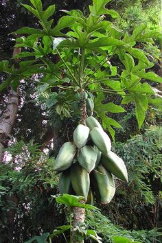 Babaco, also called the Mountain Papaya, or Champagne Fruit, the Babaco is an unusual Papaya relative with a unique flavor.