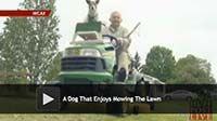 A Dog The Enjoys Mowing the Lawn