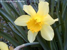 Plantas que soporten todo (sol, calor y frío) - INFOJARDIN El narciso Narcissus pseudonarcissus tambien soporta sol, y diversas temperaturas.y colocado en grupos queda muy decorativo. Se puede combinar con otras. La lavanda forma matas muy lindas tambien.