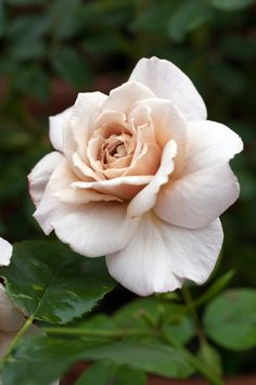 Hybrid Tea Rose: Rosa 'Grey Pearl' (Ireland, 1945)