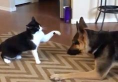 This Cat And Dog Have The Sweetest Fight Ever... Just Wait For The End.
