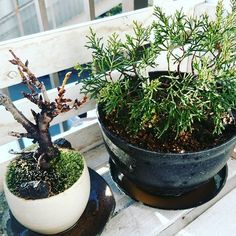 【malama_kaupili_lot_of_b】さんのInstagramをピンしています。 《It's really warm here today. I finally changed a pot of pine tree to large one because he became big and his leaves turned to be light yellow lately... so I thought it's time to move his house. I'm little bit get nervous not to wither him😭😭 初植え替え。自分でやるのは怖かったですが慎柏くんの葉がすこし色が枯れてるっぽくなってきたので植え替えました。ホームセンターのおばちゃんに土を見繕ってもらったけど水捌け良すぎて心配… 桜チャンも植え替えしたいんだけど、どこにいっていいか解りません。 とりあえず、2人とも枯らすことなく成長してます。カワイイ盆栽❤💖 #bonsai #pinetree #cherryblossom #pottery…