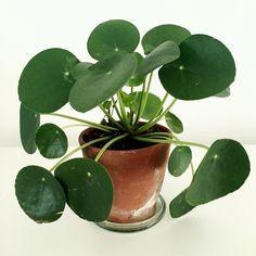 Pannenkoekplant Pilea peperomioides