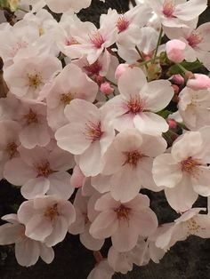 Image about flower in *sakura~桜🌸 by *rozsαliαnnα* Blossom Trees, Cherry Blossoms, Blooming Trees, Nature Photography, Peach, Gardening, Iphone, Spring, Flowers