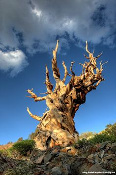Methuselah Methuselah is a 4,847-year-old Great Basin bristlecone pine (Pinus longaeva) tree growing high in the White Mountains of Inyo County in eastern California.[2][3] For many years it was the world's oldest known living non-clonalorganism, until superseded by the discovery in 2012 of another bristlecone pine in the same area with an age of 5,065 years (germination in 3050 BC).