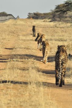 The last refuge for wild cheetahs is Namibia.  BelAfrique - Your Personal Travel Planner www.belafrique.co.za