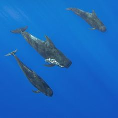 Photo by @BrianSkerry A male shortfin pilot whale (in the center) carries a dead…