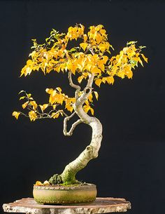 Golden #Bonsai http://walter-pall.de/supershotsbroadleaved1.jpg.dir/index.html