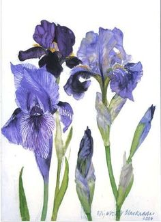 'Three Irises' by Dame Elizabeth Blackadder. This piece of artwork is so beautiful! I love the shape of the flowers and the tones Elizabeth has created. I really like the different shades of purple. purple is my favourite colour! Natural Form Artists, Natural Forms, Art Floral, Botanical Illustration, Botanical Prints, Watercolor Flowers, Watercolor Art, Watercolor Video, Johannes Itten