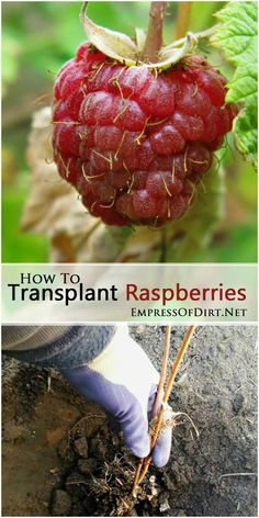 to Transplant Raspberry Bushes How to transplant raspberries plus tips for growing this delicious summer fruit in the home garden.How to transplant raspberries plus tips for growing this delicious summer fruit in the home garden. Raspberry Bush, Raspberry Plants, Fruit Plants, Fruit Garden, Edible Garden, Fruit Trees, Garden Plants, Fruit Bushes, Blackberry
