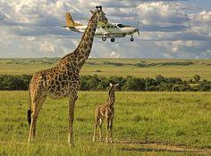 Outsourcing Seatbelt Checks, Masai Mara, Kenya By Graeme Guy