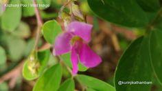 Flowers from My Cam: 3. Kozhunji Poo / Wild Indigo ~ Kurinji Kathambam
