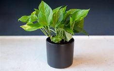 5 indoor houseplants you can't kill (unless you try really, really hard) Low-maintenance plants: Pothos plant. Really is a low maintenance plant.