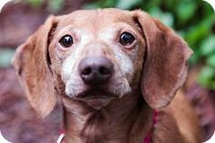 Meet Penny, a five year old Dachshund mix who is a lovely little lady. She has soft cuddly earls, big brown eyes and a sweet personality. Penny is a calm girl who would prefer a mellow and respectful home. Penny enjoys her leisurely stolls and would be a wonderful walking companion. Come meet Penny at the Seattle Humane Society, you will be happy you did!