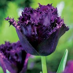 Tulip Bulbs - Cuban Night - Purple Flowers - Flowers by Colour - Flowers - Garden - Dobies of Devon