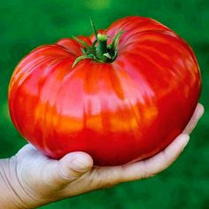 50 pcs/bag bonsai tomato , delicious cherry tomato ,Non-GMO vegetables Edible food balcony potted garden plants Growing Tomatoes From Seed, Growing Tomatoes In Containers, Growing Seeds, Growing Vegetables, Fruits And Veggies, Grow Tomatoes, Heirloom Tomato Seeds, Heirloom Tomatoes, Beefsteak Tomato