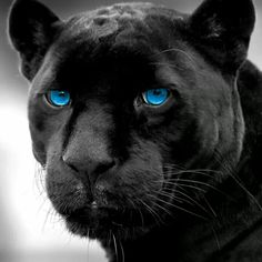Happy National Cat Day Panther Nation!!