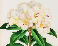Spectacular 1880s Botanical Chromolithograph: Rhododendron in White & Deep Green