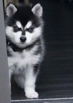 Pictures of Alaskan Klee Kai Dog Breed Alaskan Klee Kai Puppy, Alaskan Husky, Cute Puppies, Dogs And Puppies, Cute Dogs, Doggies, Baby Dogs, Corgi Puppies, Beautiful Dogs