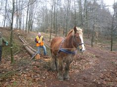 Logging with draft horses in Northern Ireland.
