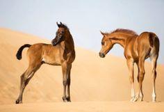 Arabian foals in the desert