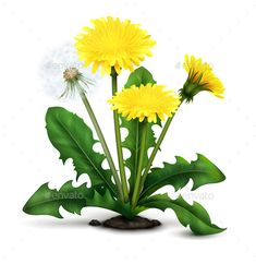 Buy Realistic Dandelion Illustration by macrovector on GraphicRiver. Realistic meadow dandelion flowers and fluff with leaves on white background vector illustration Dandelion Coffee, Dandelion Oil, Dandelion Drawing, Dandelion Benefits, Dandelion Flower, Infused Oils, Wild Edibles, Illustration, Flower Art