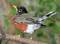 American Robin ~ Turdus migratorius ~ I love the Latin name. Pin Up Pictures, Nature Pictures, Small Birds, Pet Birds, Beautiful Butterflies, Beautiful Birds, Johnny Jump Up, American Robin, Bird Gif