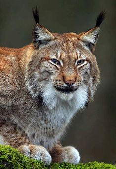 Superb Nature — beautiful-wildlife: Lynx Portrait by © loramulle